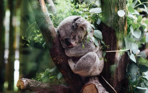 Climate change leaving koalas high and dry