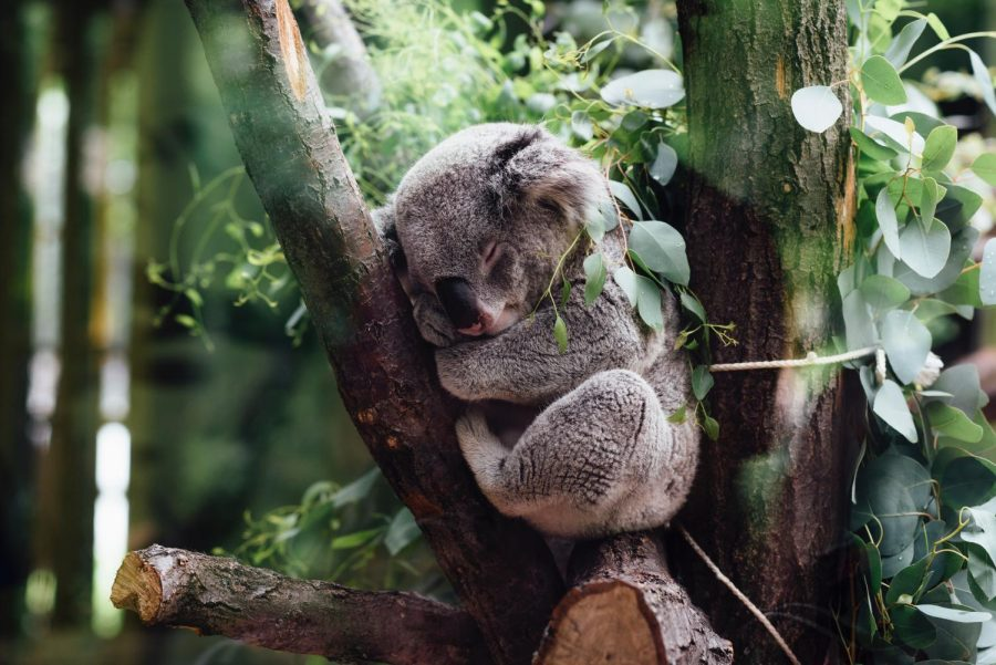 Koalas+eat+eucalyptus+leaves+from+only+40+of+the+approximately+700+species+available.