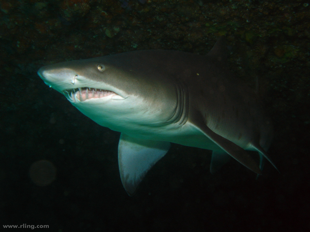 The Sunshine Coast is expecting the winter arrival of grey nurse sharks off Mooloolaba