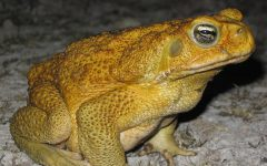 Climate to blame for a new 'cane toad front'