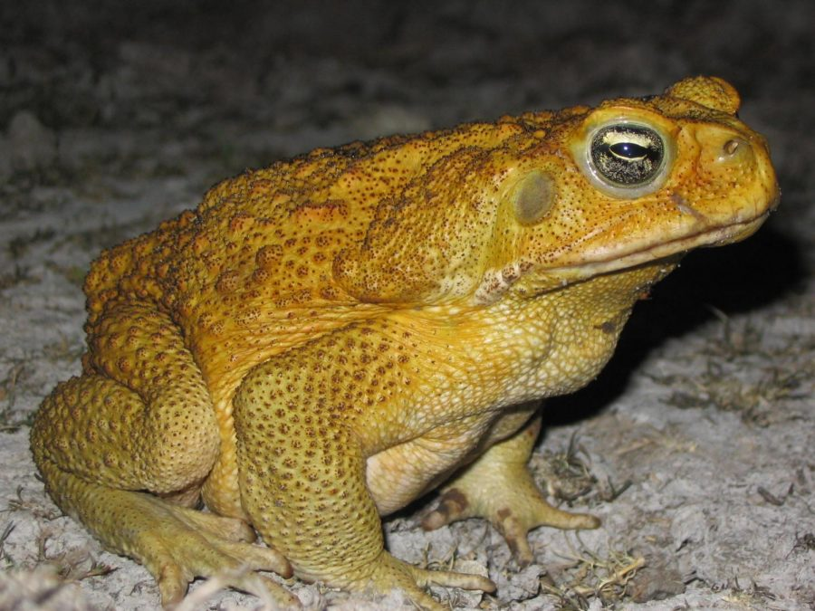 Climate+change+is+making+NSW+the+perfect+breeding+ground+for+the+stocky%2C+warty+cane+toad.